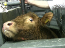 European Alliance for CCTV in Slaughterhouses
